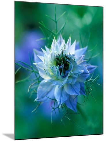 Nigella Damascena (Love-In-A-Mist), Close-up of Blue Annual Flower-Lynn Keddie-Mounted Photographic Print