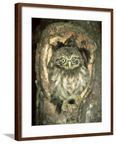 Little Owl, Juvenile, England-Les Stocker-Framed Art Print