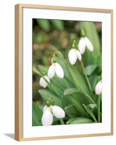 "Galanthus ""Augustus"" (Snowdrop) February Bulb-Lynn Keddie-Framed Art Print"