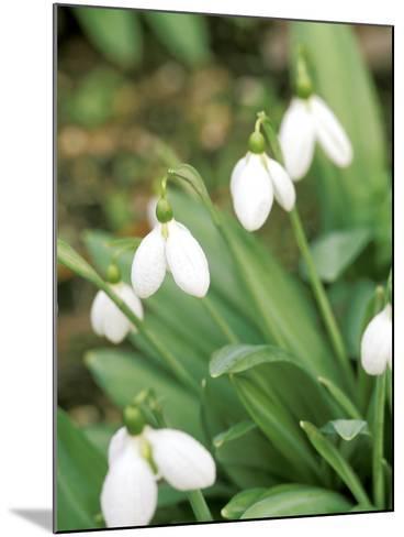"Galanthus ""Augustus"" (Snowdrop) February Bulb-Lynn Keddie-Mounted Photographic Print"
