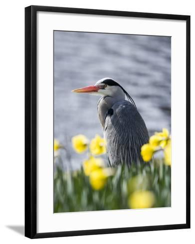 Grey Heron in Daffodils, London, UK-Elliot Neep-Framed Art Print