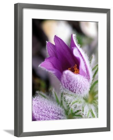 Pulsatilla Vulgaris Pasque Flower-Lynn Keddie-Framed Art Print