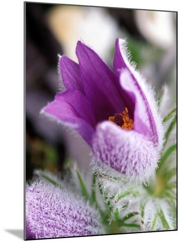Pulsatilla Vulgaris Pasque Flower-Lynn Keddie-Mounted Photographic Print