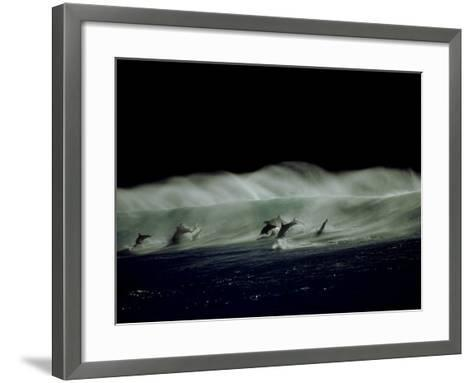 Bottlenose Dolphins, Jumping, South Africa-Tobias Bernhard-Framed Art Print