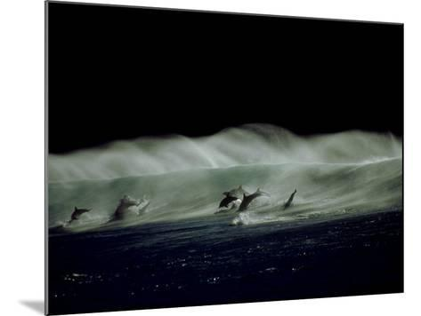 Bottlenose Dolphins, Jumping, South Africa-Tobias Bernhard-Mounted Photographic Print