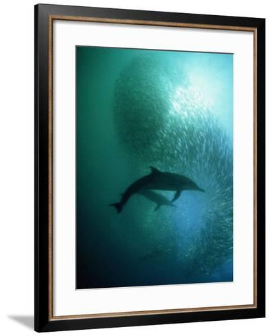 Common Dolphin, Hunting, South Africa-Tobias Bernhard-Framed Art Print