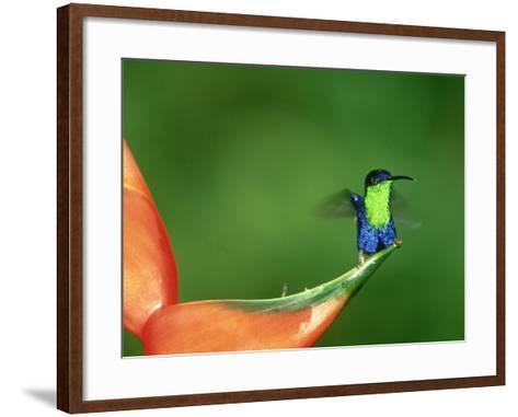 Violet-Crowned Woodnymph, Costa Rica-G^ W^ Willis-Framed Art Print