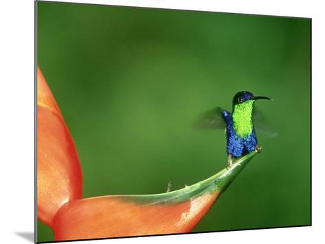 Violet-Crowned Woodnymph, Costa Rica-G^ W^ Willis-Mounted Photographic Print