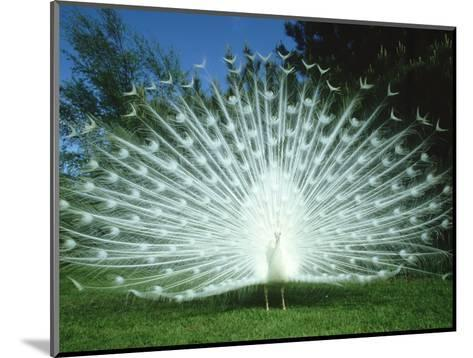 Peacock, Pavo Cristatus, White Form Displaying Tail Feathers-Mark Hamblin-Mounted Photographic Print