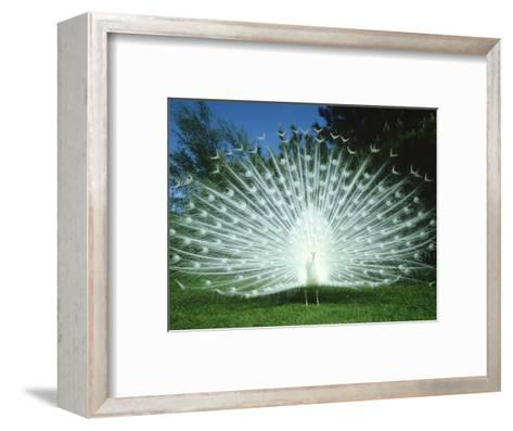 Peacock, Pavo Cristatus, White Form Displaying Tail Feathers-Mark Hamblin-Framed Art Print