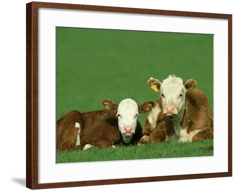 Hereford, Bos Taurus 2 Young Calves Lying in Meadow Yorkshire, UK-Mark Hamblin-Framed Art Print