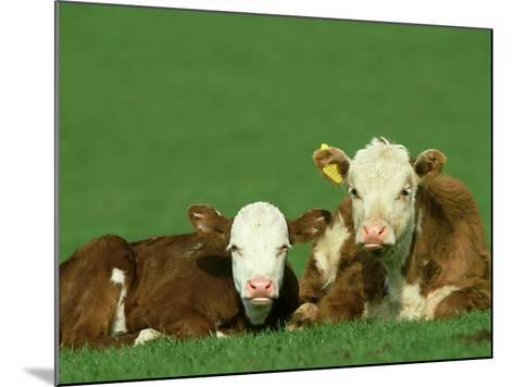 Hereford, Bos Taurus 2 Young Calves Lying in Meadow Yorkshire, UK-Mark Hamblin-Mounted Photographic Print