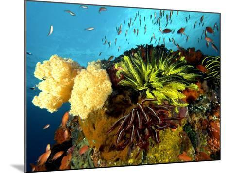 Reef with Crinoids, Komodo, Indonesia-Mark Webster-Mounted Photographic Print