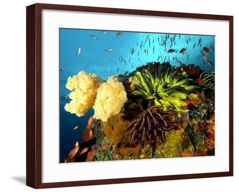 Reef with Crinoids, Komodo, Indonesia-Mark Webster-Framed Art Print