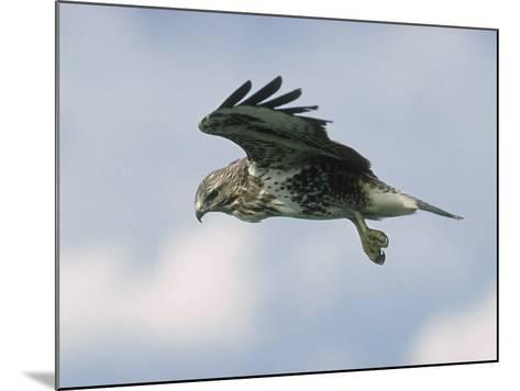 Buzzard in Flight, Wales, UK-Mark Hamblin-Mounted Photographic Print