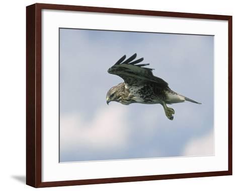 Buzzard in Flight, Wales, UK-Mark Hamblin-Framed Art Print