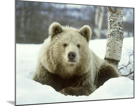 European Brown Bear, Ursus Arctos Male Sat on Snow Norway-Mark Hamblin-Mounted Photographic Print