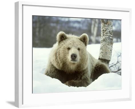 European Brown Bear, Ursus Arctos Male Sat on Snow Norway-Mark Hamblin-Framed Art Print