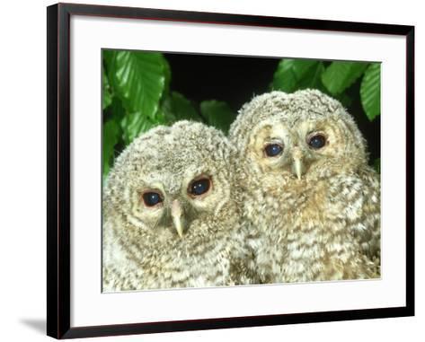 Tawny Owl, Strix Aluco Chicks, Close-up Portraits W. Yorks, UK-Mark Hamblin-Framed Art Print
