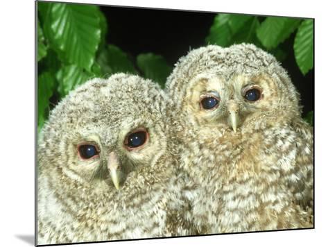 Tawny Owl, Strix Aluco Chicks, Close-up Portraits W. Yorks, UK-Mark Hamblin-Mounted Photographic Print