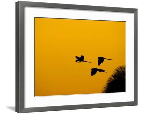 Hyacinth Macaws, Parrots in Flight at Sunrise, Brazil-Roy Toft-Framed Art Print