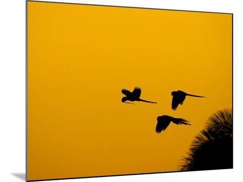 Hyacinth Macaws, Parrots in Flight at Sunrise, Brazil-Roy Toft-Mounted Photographic Print