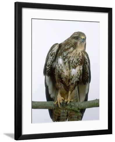 Buzzard, UK-Les Stocker-Framed Art Print