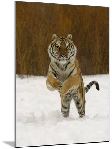 Tiger Adult Running Through Snow, Winter-Daniel J. Cox-Mounted Photographic Print