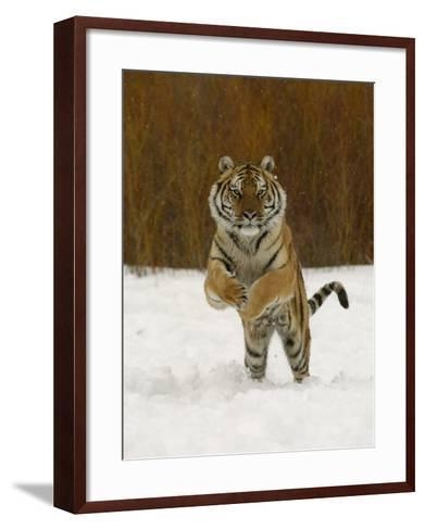 Tiger Adult Running Through Snow, Winter-Daniel J. Cox-Framed Art Print