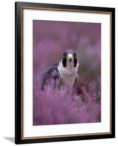 Peregrine Falcon, Falco Peregrinus Male Amongst Heather-Mark Hamblin-Framed Art Print