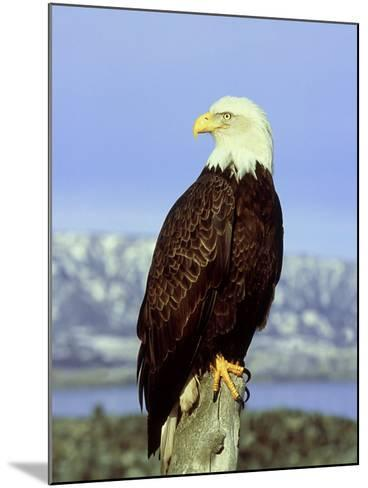 Bald Eagle on Post, USA-David Tipling-Mounted Photographic Print