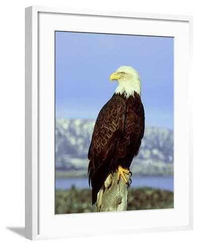 Bald Eagle on Post, USA-David Tipling-Framed Art Print