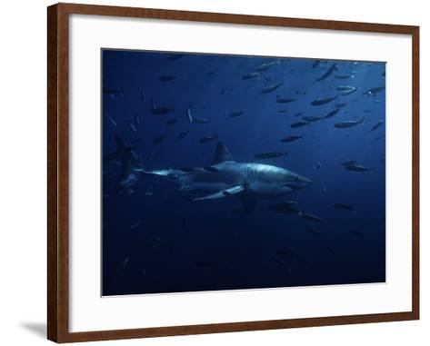 Great White Shark, Swimming, Pacific-Gerard Soury-Framed Art Print