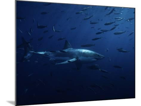Great White Shark, Swimming, Pacific-Gerard Soury-Mounted Photographic Print