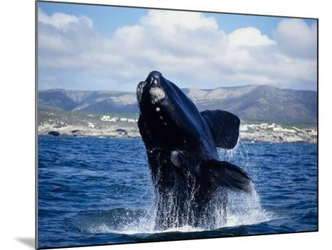 Southern Right Whale, Breaching, S Africa-Gerard Soury-Mounted Photographic Print