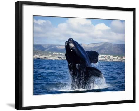 Southern Right Whale, Breaching, S Africa-Gerard Soury-Framed Art Print