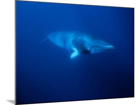 Minke Whale, Underwater, Queensland-Gerard Soury-Mounted Photographic Print