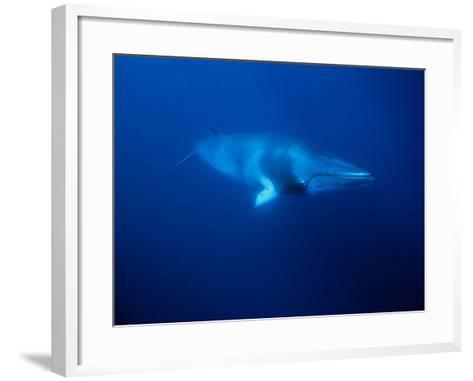 Minke Whale, Underwater, Queensland-Gerard Soury-Framed Art Print