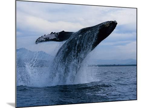 Humpback Whale, Breaching, Puerto Vallarta-Gerard Soury-Mounted Photographic Print