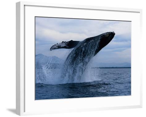 Humpback Whale, Breaching, Puerto Vallarta-Gerard Soury-Framed Art Print