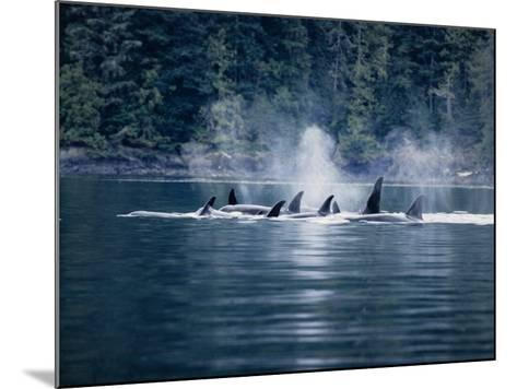 Killer Whale, Pod at Surface, BC, Canada-Gerard Soury-Mounted Photographic Print