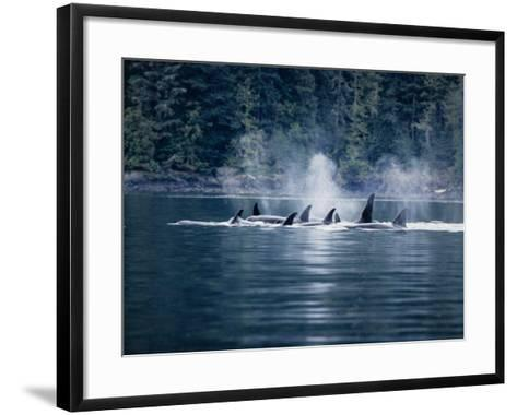 Killer Whale, Pod at Surface, BC, Canada-Gerard Soury-Framed Art Print