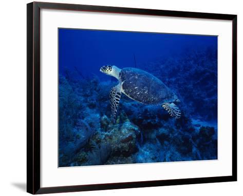 Hawksbill Turtle, Swimming, Caribbean-Gerard Soury-Framed Art Print