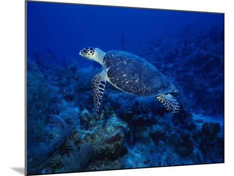 Hawksbill Turtle, Swimming, Caribbean-Gerard Soury-Mounted Photographic Print