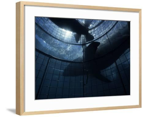 Great White Shark, With Cage, S. Africa-Gerard Soury-Framed Art Print