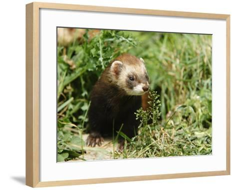 European Polecat in Low Vegetation, Sussex, UK-Elliot Neep-Framed Art Print