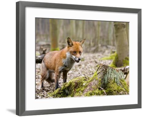 Red Fox, Alert Fox Standing Next to Fallen Tree, Lancashire, UK-Elliot Neep-Framed Art Print