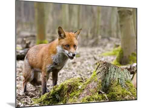Red Fox, Alert Fox Standing Next to Fallen Tree, Lancashire, UK-Elliot Neep-Mounted Photographic Print