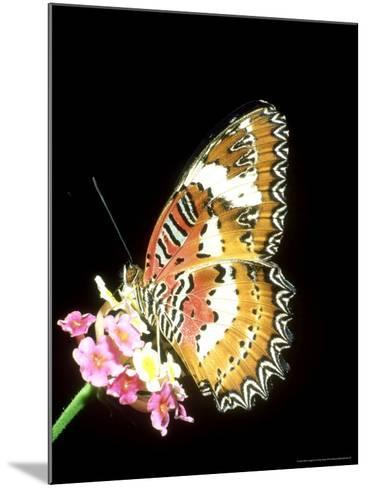 Lacewing Butterfly, Cethosia Biblis-Mike Slater-Mounted Photographic Print
