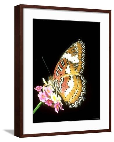 Lacewing Butterfly, Cethosia Biblis-Mike Slater-Framed Art Print